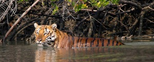 A Royal Bengal Tiger in the Sundarbans National Park. With a population estimated at only 2,500 it has now been listed as endangered.