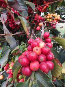 Cherry coffee.