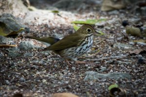 An Ovenbird going for a stroll. The wonderful American poet Robert Frost wrote a poem about the Ovenbird, which begins: There is a singer everyone has heard, Loud, a mid-summer and a mid-wood bird, Who makes the solid tree trunks sound again. The bird spends its summers in the eastern United States, and winters in the Caribbean and Central America. (Photo: hotspotbirding.com)