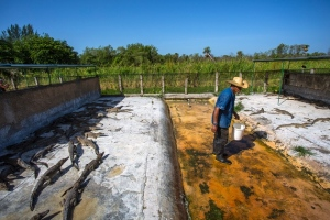 The breeding facility at Zapata Swamp, where the Cuban Government recently closed off 500 hectares as a protected area. (Photo: Desmond Boylan/Nature)