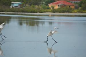 Ballet dancing on water…at Portland Cottage. (Photo: BirdLife Jamaica/Facebook)