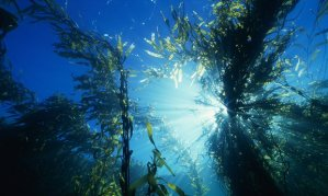 The giant kelp forests are part of the Great Southern Reef – a global biodiversity hotspot, with up to 30% of species endemic. Photograph: Thomas Schmitt/Getty Images