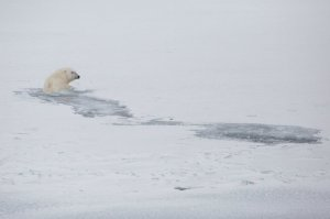A polar bear swims in an area where there would normally be ice in Svalbard. Photograph: Nick Cobbing/Greenpeace