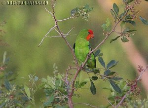 I love the @ParrotOfTheDay tweets. Here's a festive one on Christmas Day:Red-headed lovebird (Agapornis pullarius), Africa. (Photo: Kristian Svensson)