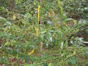 Wild organic coffee in the Yayu Coffee Forest Biosphere Reserve. (Photo from an Oromo blog)