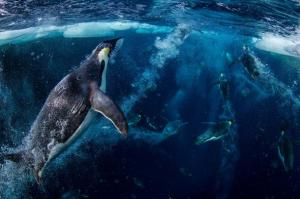 Emperor penguins inhabit the Ross Sea off Antarctica. In one of the biggest environmental achievements of 2016, an international commission protected a vast expanse of the sea. PHOTOGRAPH BY PAUL NICKLEN, NATIONAL GEOGRAPHIC CREATIVE