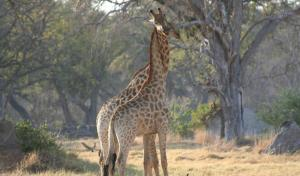 Giraffe populations have dropped by 40% in the past 30 years. (Photo: IUCN Library/Alicia Wirz)