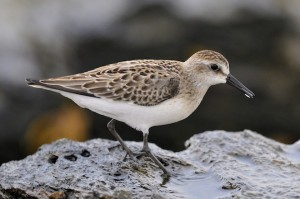 The semipalmated sandpiper is a shorebird that visits the Caribbean during the winter. (Photo: Bill Thompson/U.S. Fish and Wildlife Service)