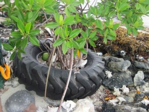 Tractor tyre washed up on a beach in Belize. A baby mangrove has started to grown on it. (Photo: UNEP)