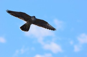 I found this beautiful photo of a Peregrine Falcon, taken from a cruise ship near Jamaica. They fly extremely fast (at least 30 mph) and when they stoop for prey considerably faster! (Photo: preview.com)