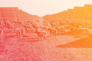 Sheep graze amid the panels at Longyangxia Dam Solar Park in China's Qinghai province. The plant has the capacity to produce 850MW of power. (Photo: Tom Phillips/Guardian)