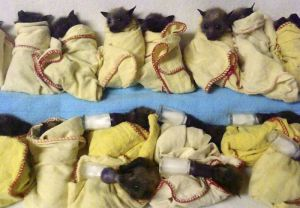 In this photo released by the Australian Bat Clinic, fifteen heat-stressed baby Flying Foxes (bats) are lined up ready to feed at the Australia Bat Clinic near the Gold Coast in Queensland, Australia, Thursday, Jan. 9, 2014. Thousands of bats near Brisbane and the Gold Coast have succumbed to the extreme heat falling out of trees and dying during a heat wave in which heat records are being set in Australia after the hottest year ever. (AP Photo/Australian Bat Clinic, Trish Wimberley)