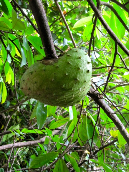 Soursop in our yard.