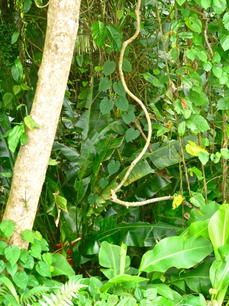 Vines curl in the Grand Etang National Park and Forest Reserve in Grenada.
