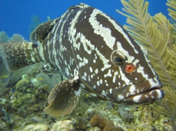 The Nassau Grouper was one of the most heavily fished in the region, and is now endangered. (Photo:Photo Credit: http://appliedecology.cals.ncsu.edu/)