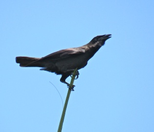 The Jamaican Crow is on the alert, and persistently calling; a Red-Tailed Hawk is near...