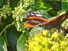 I'm not always very satisfied with my closeups, but here's a lovely butterfly in a North Cornwall hedge on a country lane in the UK.