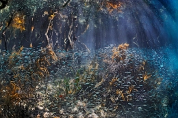 Schools of tiny fish sweep through a mangrove in Belize. (Photo: Brian J. Skerry/National Geographic)