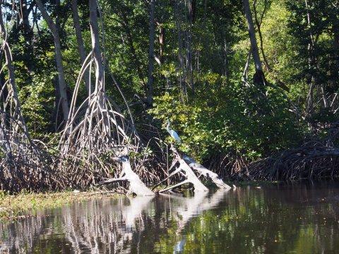 An egret among mangroves.
