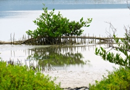 A young mangrove in the salt marsh at Portland Cottage, Clarendon. (My photo)
