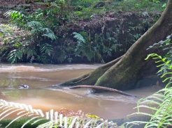 Brown river water after rains swirling round a tree trunk - the Martha Brae in Trelawny.