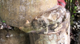 At the Rastafarian Indigenous Village near Montego Bay, a curious kitten's fur almost blends in with these logs.