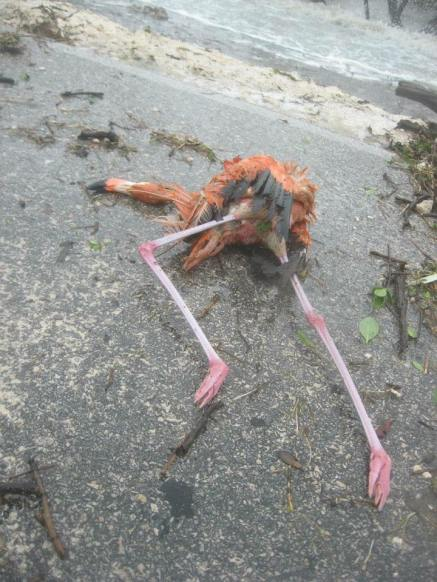 A dead flamingo in northern Cuba. (Photo: Facebook)
