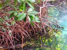 Mangrove roots, Salt River, Clarendon. Mangroves ensure the health of our coastlines. (My photo)