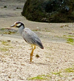 I think this Yellow-Crowned Night Heron on a small beach in Grenada was actually waiting for me to move...or better still, go away.