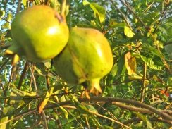 These pomegranates in the garden of the synagogue in downtown Kingston take on a richness in the evening sun.