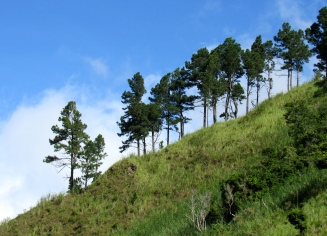 A row of pine trees climbing a hillside in the Blue Mountains.