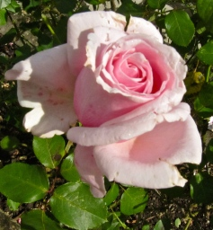 There is absolutely nothing like the sweet scent of an English rose. This was at my sister's house in Sussex... in the September sun. (My photo)