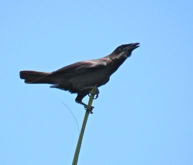 Birdwatching... (Jamaican Crow in St. Ann)