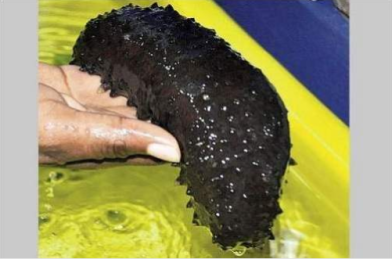 "This is a sea cucumber, an ""Asian delicacy."" 300 pounds of them were seized recently in Clarendon."