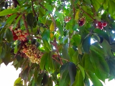 Our otaheite apple tree is often bursting with fruit. Here they are all ripening up. Problem is, it all happens at once!