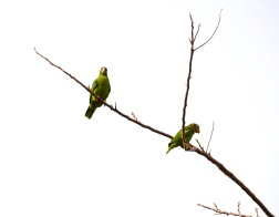 A bright early morning birding in Hope Gardens, and here are two Yellow-billed Parrots, considering the day.