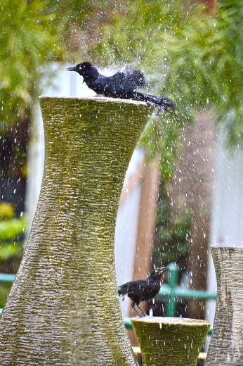 "Tropical birds love water. It's one way to attract them, especially in the summer. For some reason, the Greater Antillean Grackles (or ""Cling Cling"" - our local name) especially love to bathe."