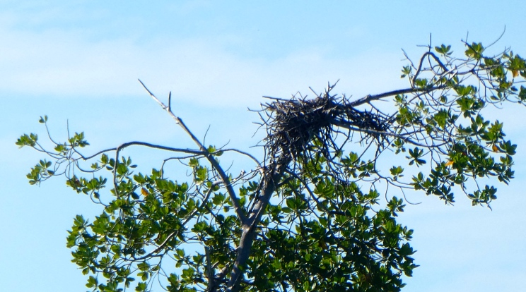 Birds twist their materials into a nest. Here is the wonderful sight of an osprey's nest at Goat Islands.