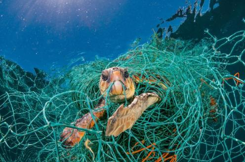"An old plastic fishing net snares a loggerhead turtle in the Mediterranean off Spain. The turtle could stretch its neck above water to breathe but would have died had the photographer not freed it. ""Ghost fishing"" by derelict gear is a big threat to sea turtles. PHOTOGRAPH BY JORDI CHIAS"