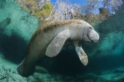 Manatees, a state animal in Florida, are increasing in number. Design Pics Inc/REX/Shutterstock