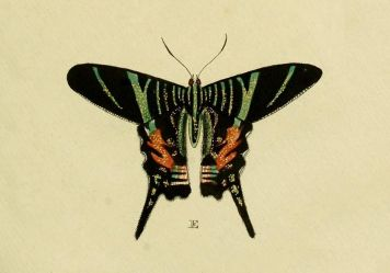 The last sighting of Urania sloanus, a moth endemic to Jamaica, was reported in 1884 or 1895. Image by Pieter Cramer and Caspar Stoll, via Wikimedia Commons.