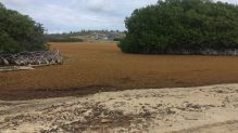 Both the Lagun bay and the Sorobon areas of Bonaire have been invaded by massive amounts of Sargassum. Photo: Stinapa
