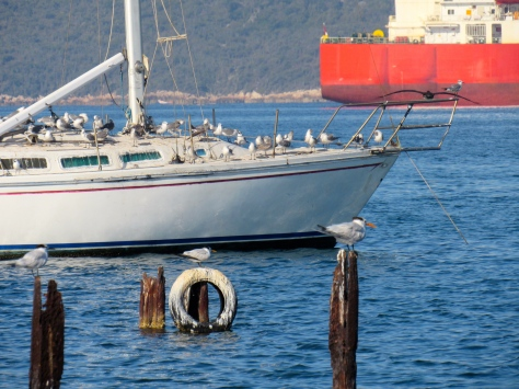 Terns and gulls at Old Coal Wharf, Port Royal. (My photo)