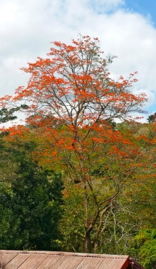 This beautiful tree in the hills of Clarendon created a lot of discussion when I posted the photo on my Facebook page. Now, for the life of me, I cannot remember the name of it!