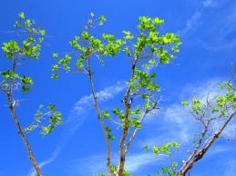 Trees in a hot summer breeze, Portland.