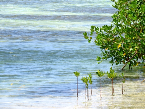 Yes, mangroves are trees too. Here are some delicate saplings growing in the sea at Greenwood, St. James.
