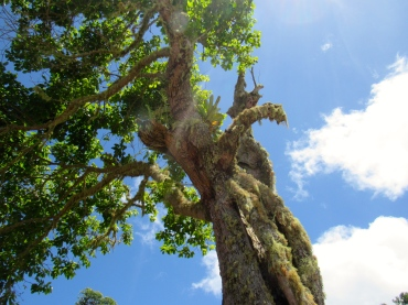 A moss-covered tree at Holywell, in Jamaica's Blue and John Crow Mountains National Park, a UNESCO World Heritage Site.