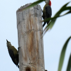 Two Jamaican Woodpeckers on light pole.