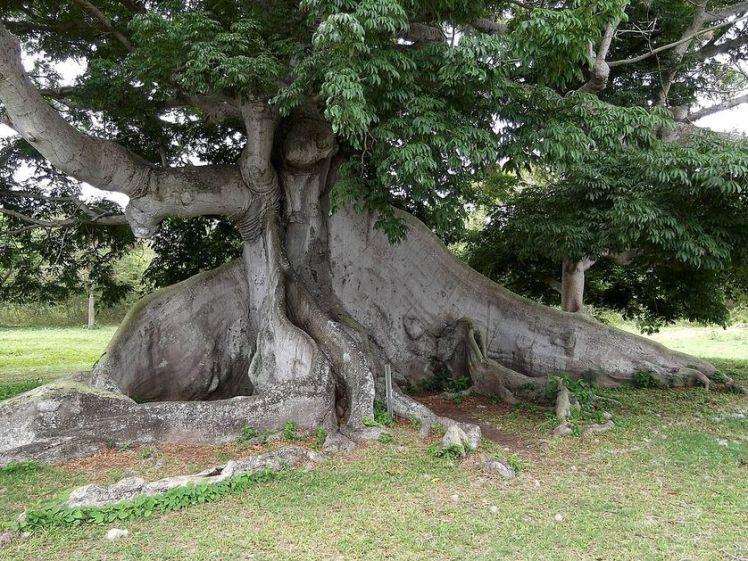 Ceiba-tree-vieques.jpg.838x0_q80